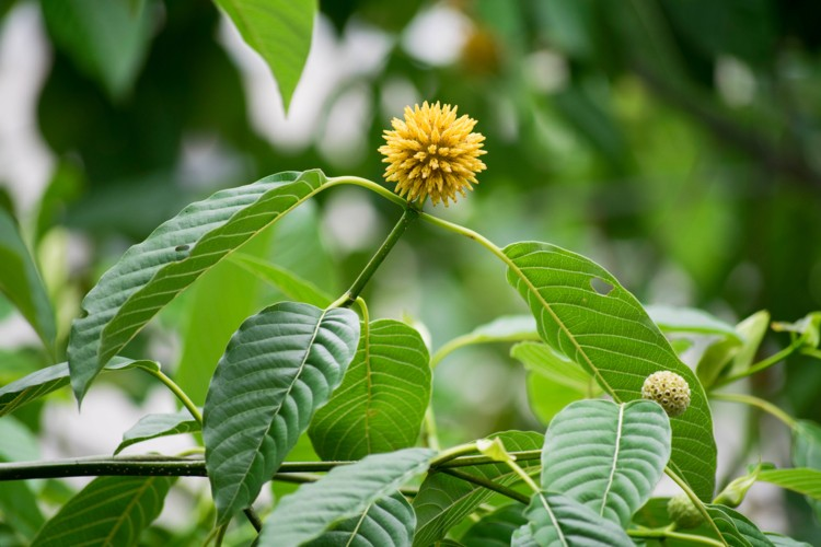 Kratom Essence Is Necessary For Your Success Review This To Figure Out Why