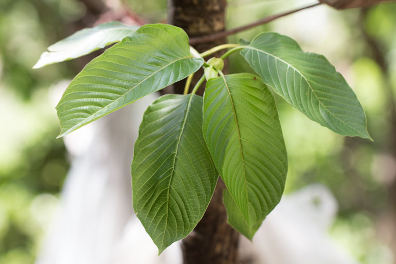 Things You Need To Know About Cbd Kratom Online